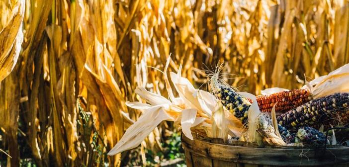 Stock photo of a barrel full of dried corn in a cornfield