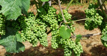 Stock photo of green grapes that are still on the vine