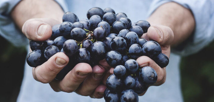 Person's hands offering a big bunch of grapes